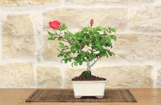 Picture of Rose Bonsai Tree (35)
