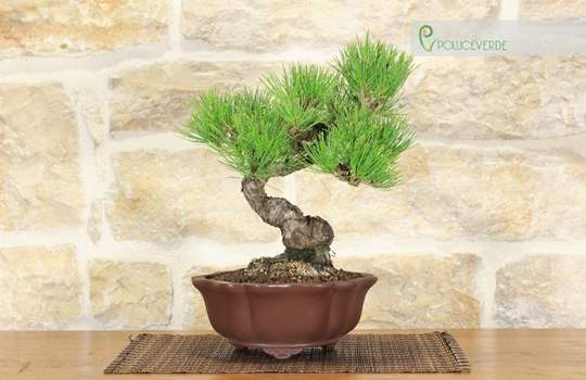 Bonsai Pino Nero Thunbergii