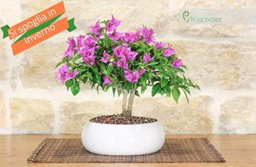 Picture of Bouganville bonsai tree in white pot 20 cm.
