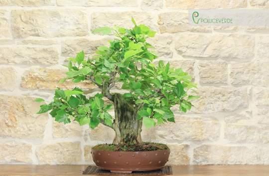 bonsai platano