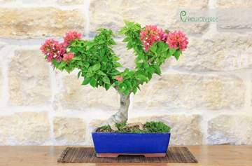 bonsai bougainvillea mini thai