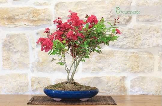 bonsai lagerstroemia