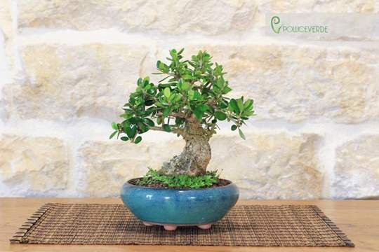 bonsai olivastro