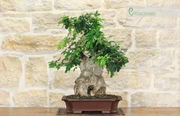 bonsai acero campestre