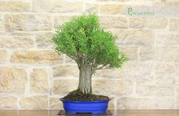 bonsai callistemon