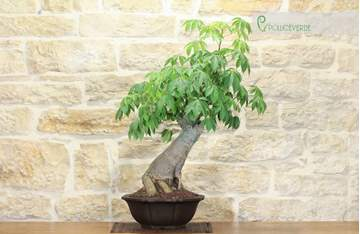 bonsai chorisia