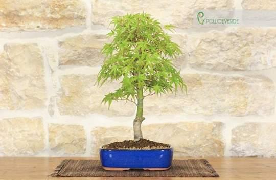 bonsai acero