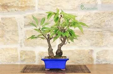 bonsai ciliegio giapponese