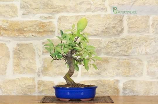 bonsai cotogno