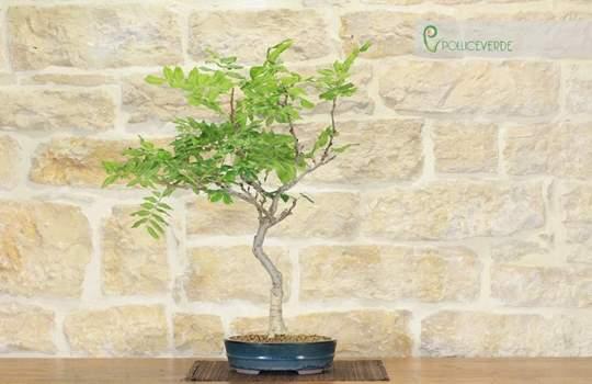 bonsai glicine giapponese