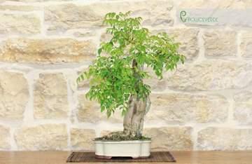 bonsai bignonia