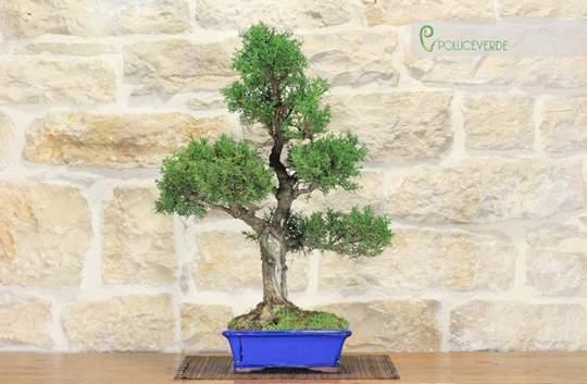 bonsai cipresso