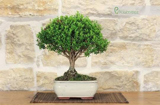 bonsai mirto microphylla