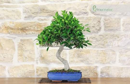 bonsai ficus retusa