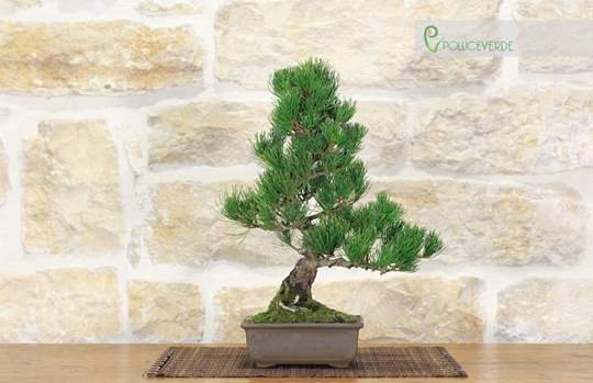 bonsai pino bianco