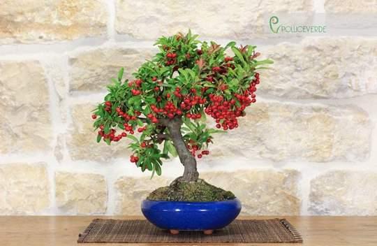 bonsai pyracantha crenulata