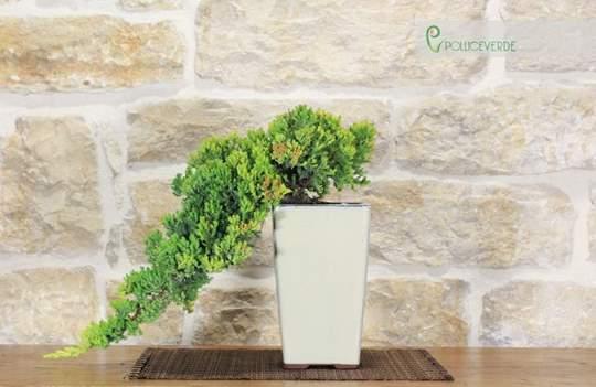 bonsai ginepro procumbens