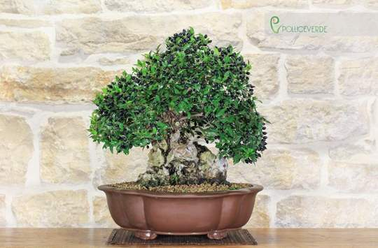 bonsai mirto pumila