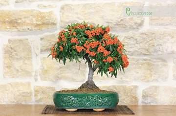 bonsai pyracantha