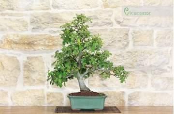 bonsai quercia leccio