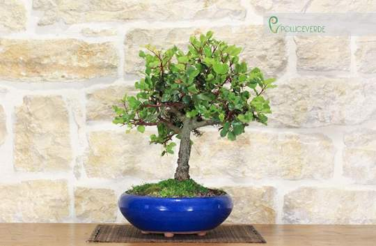 bonsai carrubo