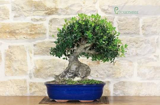 bonsai phillyrea