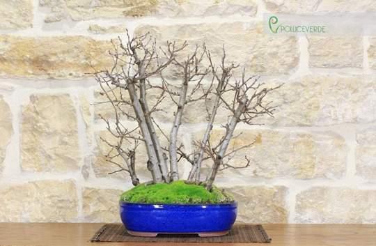bonsai di ciliegio