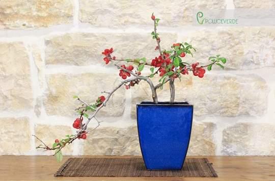bonsai cotogno giapponese