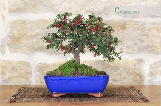 bonsai cotoneaster