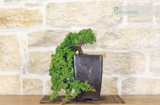 bonsai ginepro
