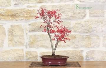 bonsai acero palmato