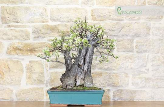 bonsai ciliegio selvatico