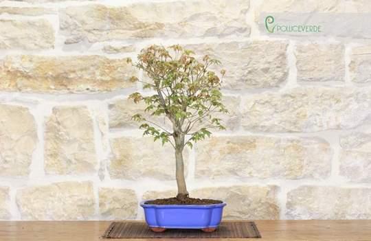 bonsai acero tridente