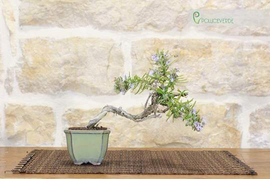 bonsai rosmarino