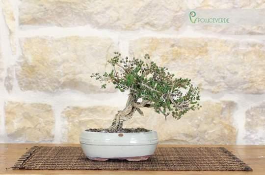 bonsai timo