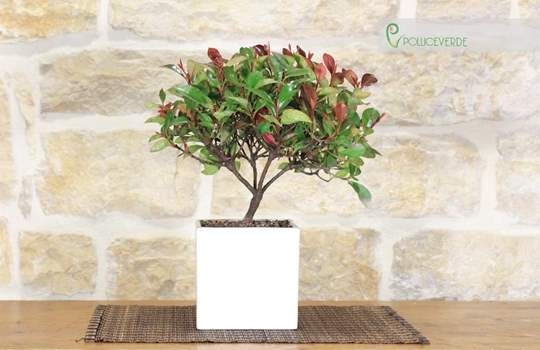 Picture of Dwarf Photinia bonsai tree in a cubic white pot