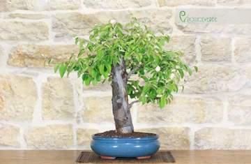 bonsai melo cotogno