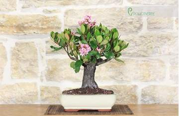 bonsai raphiolepis