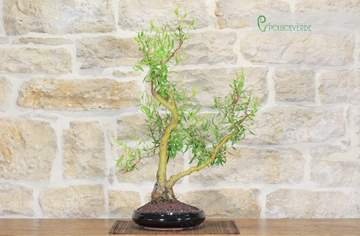bonsai salice
