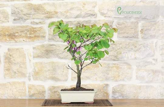 bonsai cercis