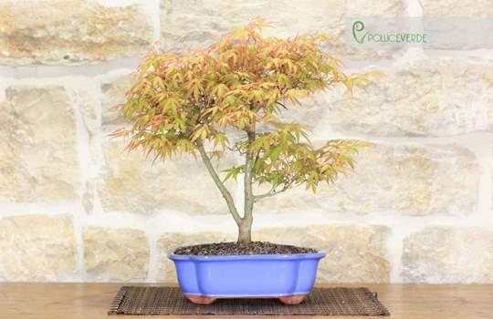 bonsai acero katsura