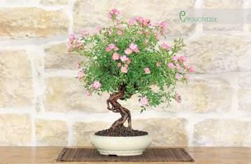 bonsai rosa multiflora
