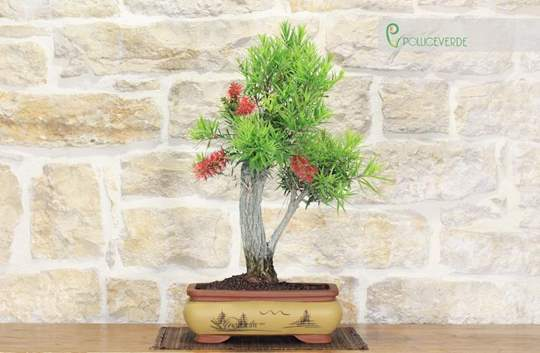 bonsai callistemon