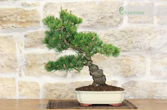 bonsai pino pentaphilla