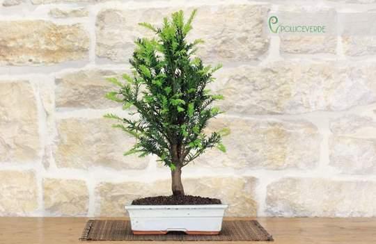 bonsai tasso
