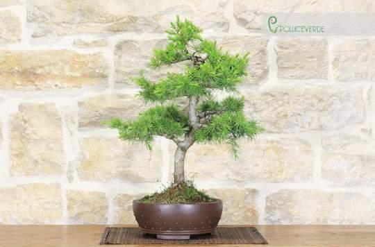 bonsai cedro