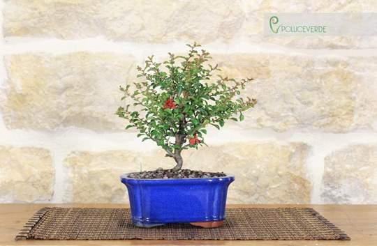 bonsai cotogno da fiore
