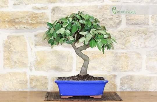 bonsai elaeagnus