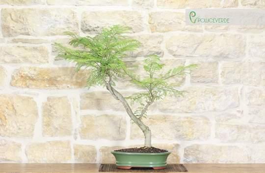 bonsai jacaranda
