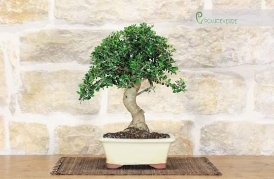 bonsai olivastro